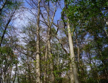 Dying beech in Hainich WIlderness