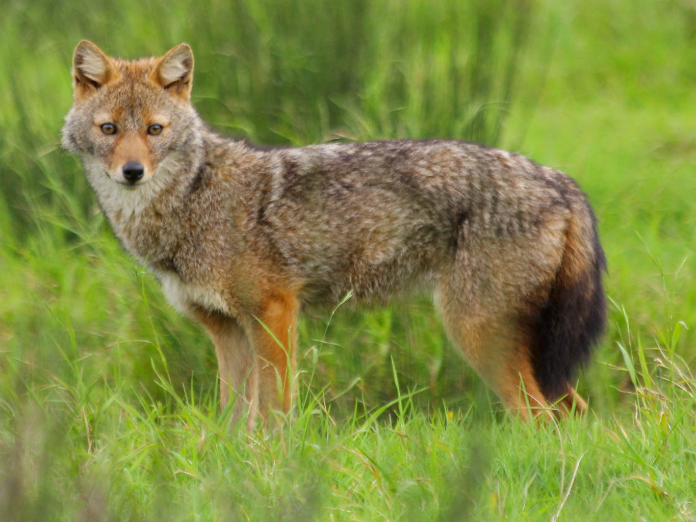 golden jackal-26104.jpg - © European Wilderness Society CC BY-NC-ND 4.0