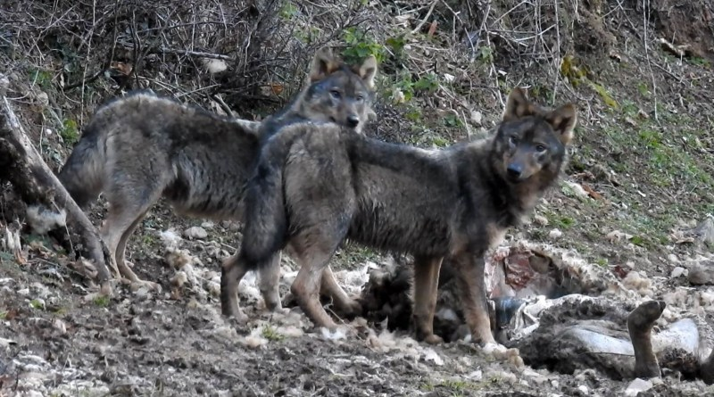 Wolves in Asturias-30892.jpg - © CC BY-NC-ND 4.0