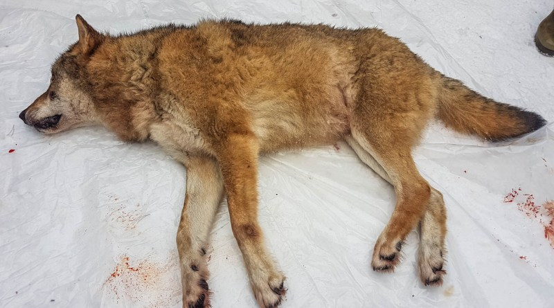 Norway further weakens legal protection of wolves