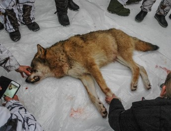 180 hunters kill one Wolf pack in Norway