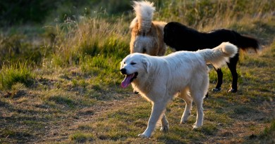 What makes livestock guarding dogs effective?