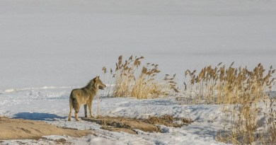 Compensation payments for wolf depredation within 24 hours