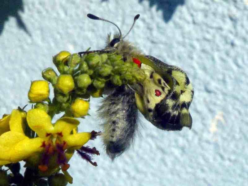 Apollo Buterfly