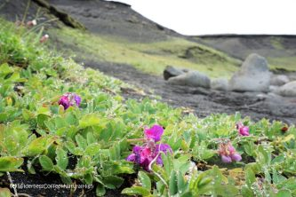 Little beach orchids at Klauf, Heimaey, Vestmannaeyjar, Iceland