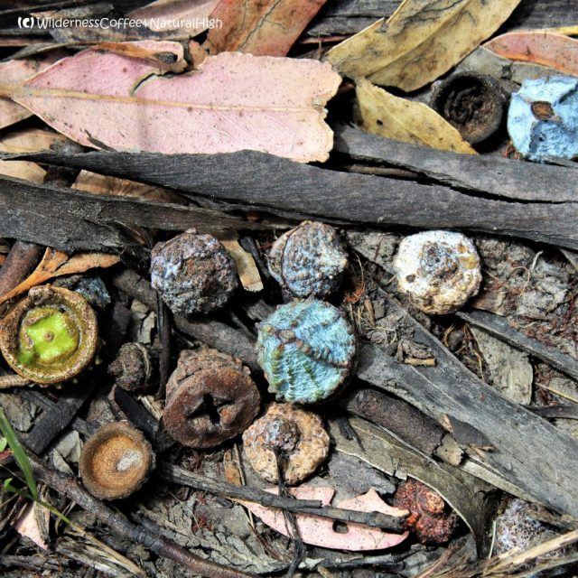 Eucalypt bushnut art, Bruny Island, Tasmania