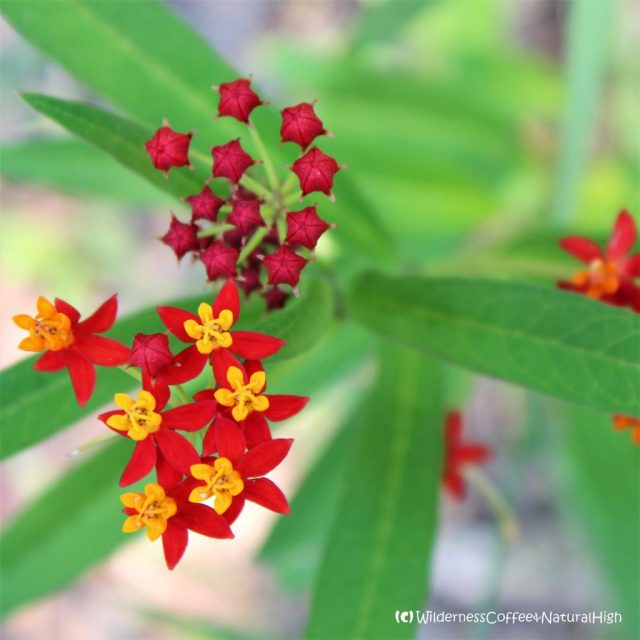 Tropical Milkweed, Carnarvon Gorge, Queensland, Australia