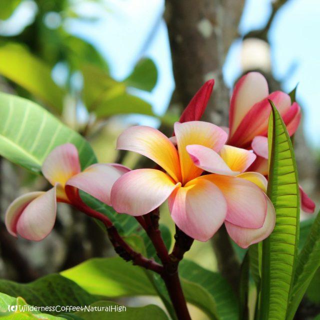 Australian frangipani flowers, Magnetic Island, Queensland