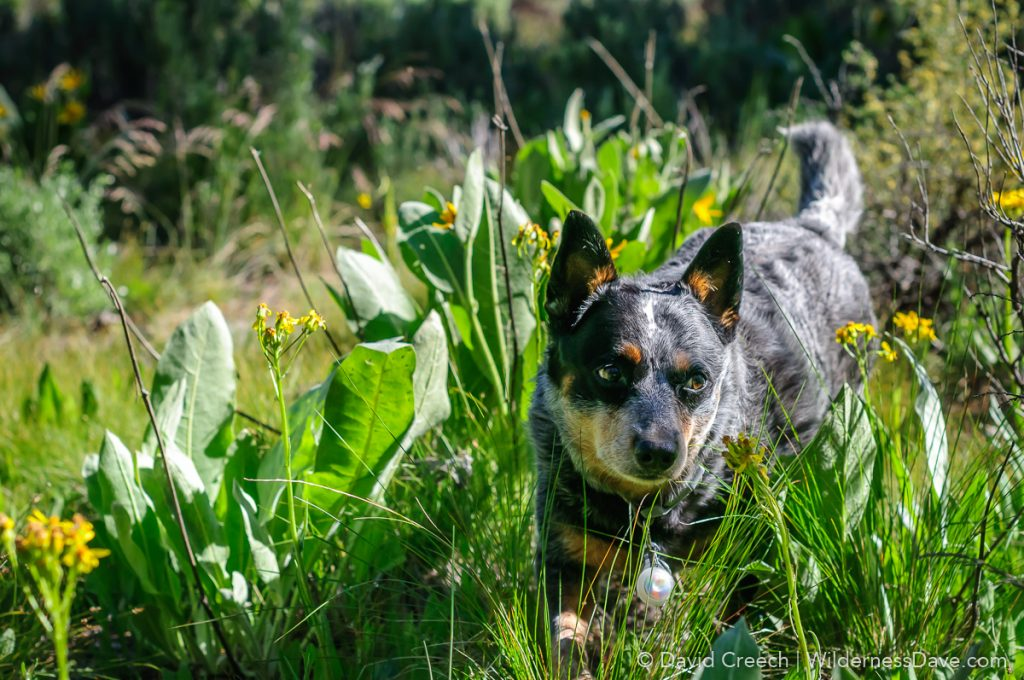 Wiley the Australian Cattle Dog