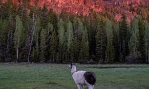 llamas-backpacking-7