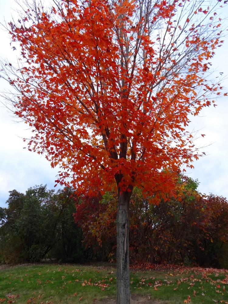 Fall Color 2012 Minnesota Arboretum (5/6)