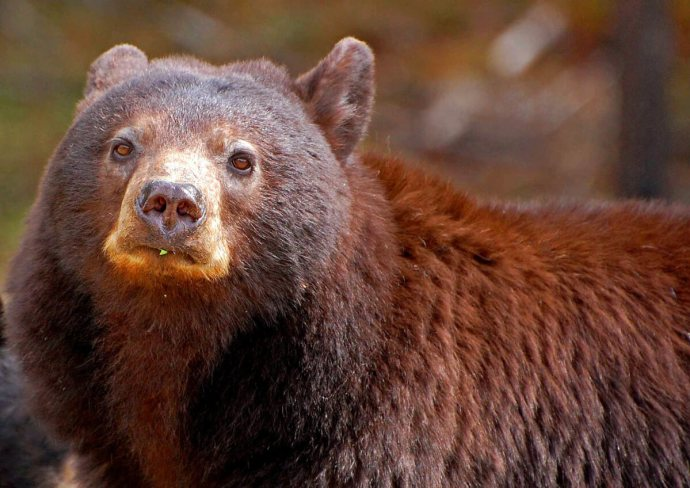 Mother black bear