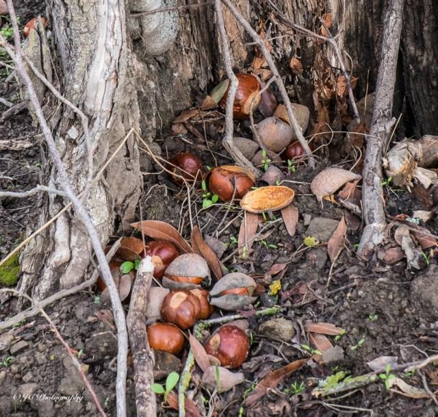 buckeye nuts-3553