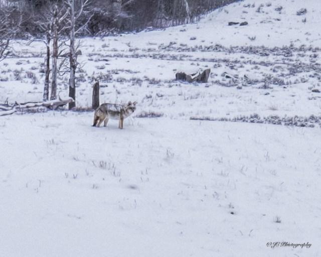 coyote-