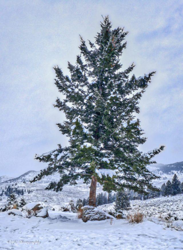 xmas tree-