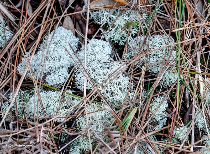 deer moss-4309-