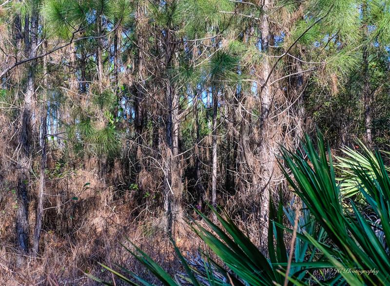 slash pine-4435