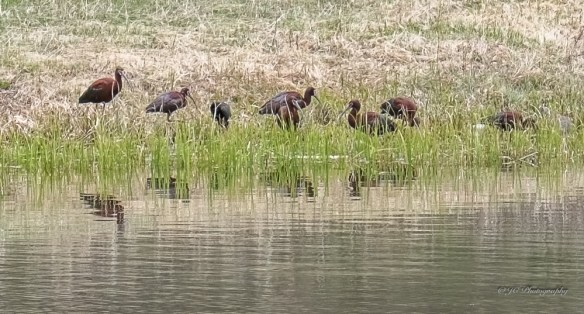 white-faced ibis-6599-2