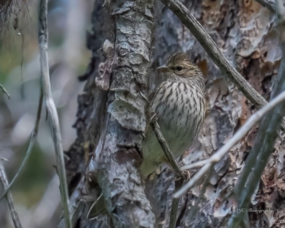 Lincoln sparrow-3590