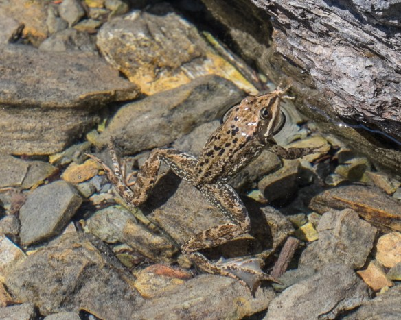 columbia spotted frog-3705