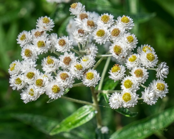 -pearly everlasting-3576