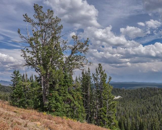 whitebark-pine-4481