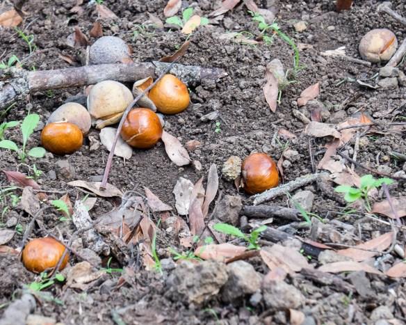 10a-buckeye-nuts