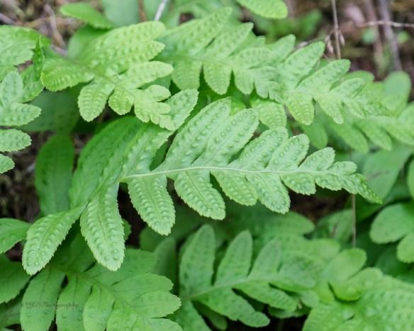 12-oak-fern