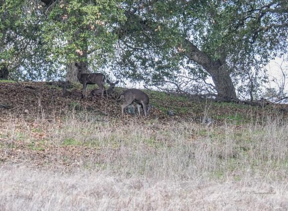 17-deer-family