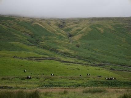 Belted Galloways in Duddon Valley