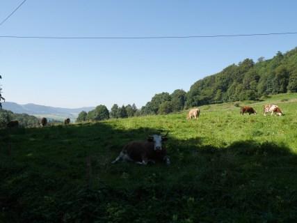 Rhöner Kühe
