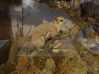 Gleithörnchen / Flying squirrel
