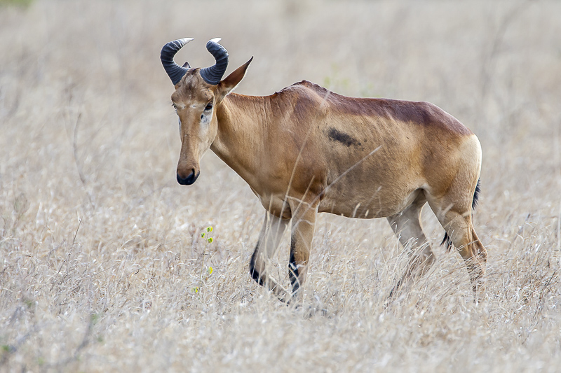 Day Safari in Kruger National Park picture of a lichtenstein's hartebeest
