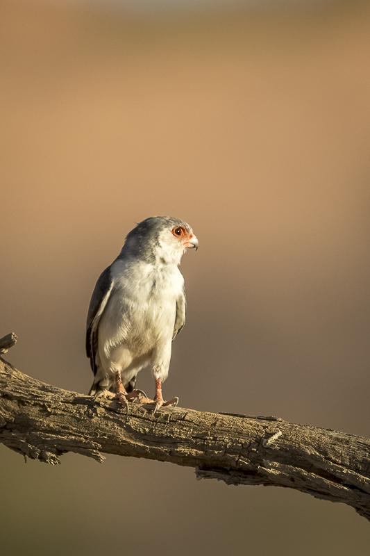 Pygmy Falcon on perch Predators and Wildlife Kgalagadi Photo Safari