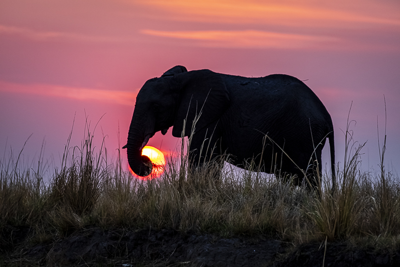 Botswana & Zambezi Region - Birding & Photography African Elephant with Setting Sun