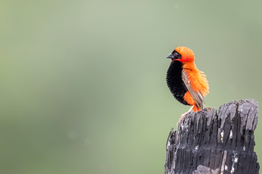 Pafuri Luxury Tented Camp image of a Red Bishop