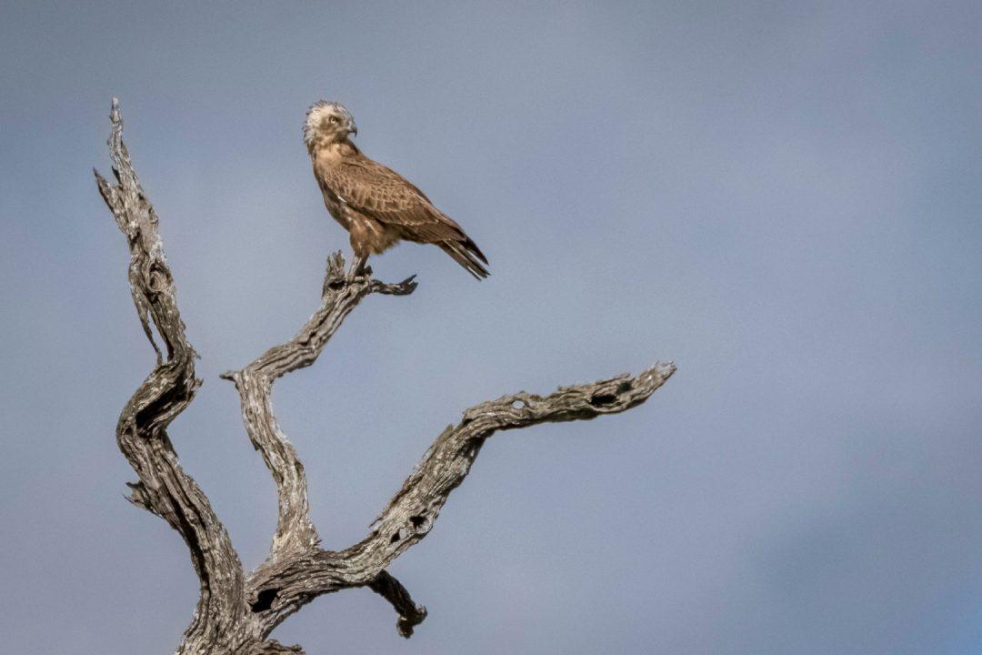 Skukuza Safari Lodge  and Private Safari image of a Brown Snake Eagle