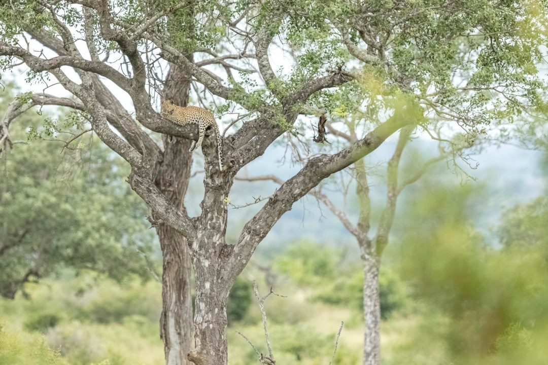Private Day Safari in Kruger National Park image of leopard in a tree