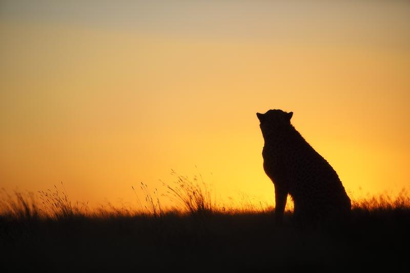 Tiger Canyon - Cheetah at Sunset