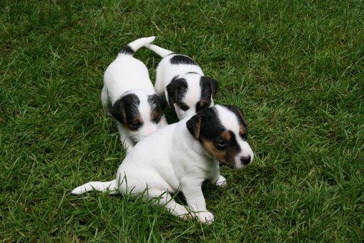 puppies-4-5-wks-063_attilaamos-alisha-sm.jpg