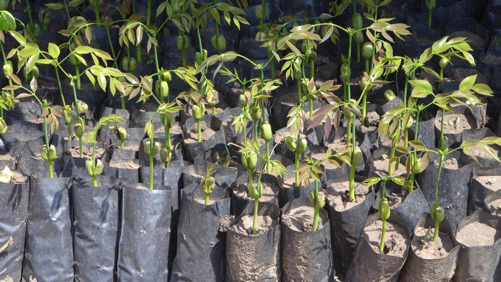 Seedlings of Afzelia africana, a tree species from Northern Uganda