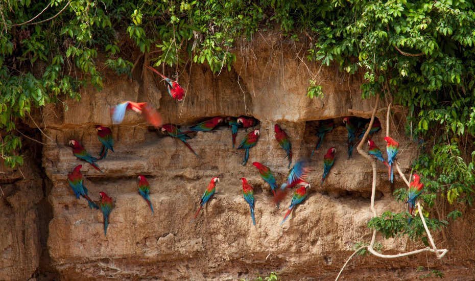 Red and green macaws at the clay lick