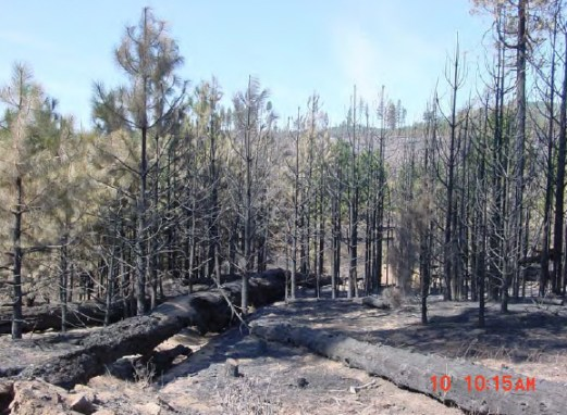 The patch of Ponderosa pine that torched and established spot fires outside the unit.