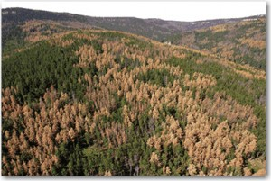 pine beetle damage