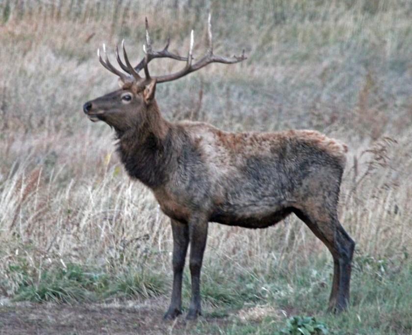 elk Custer State Park