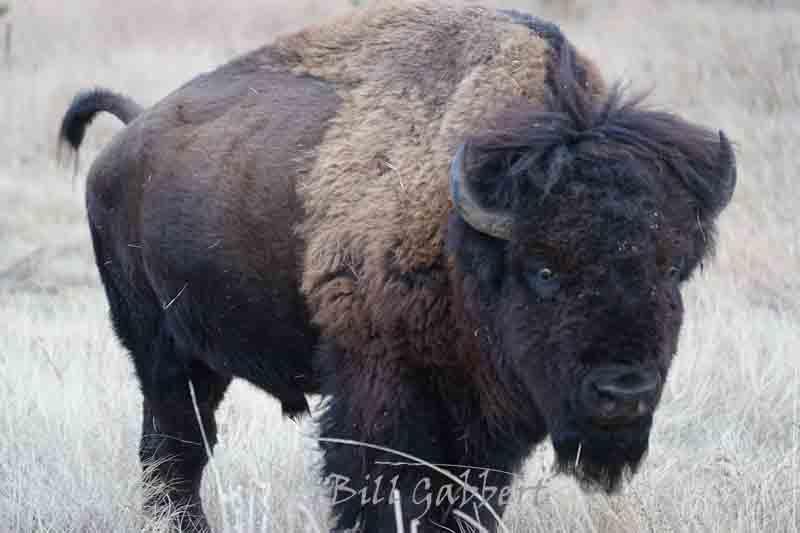 bison in Wind Cave National Park