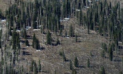 Pine trees killed by bark beetles