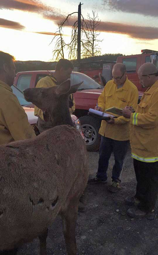 Elk and firefighters