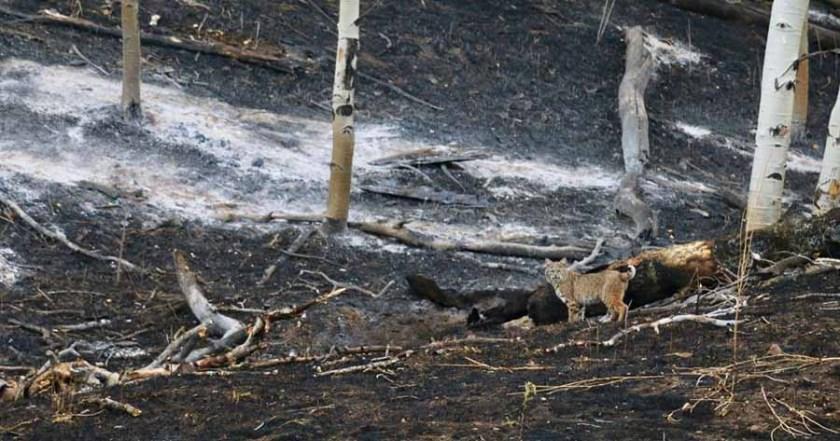 bobcat Junkins Fire