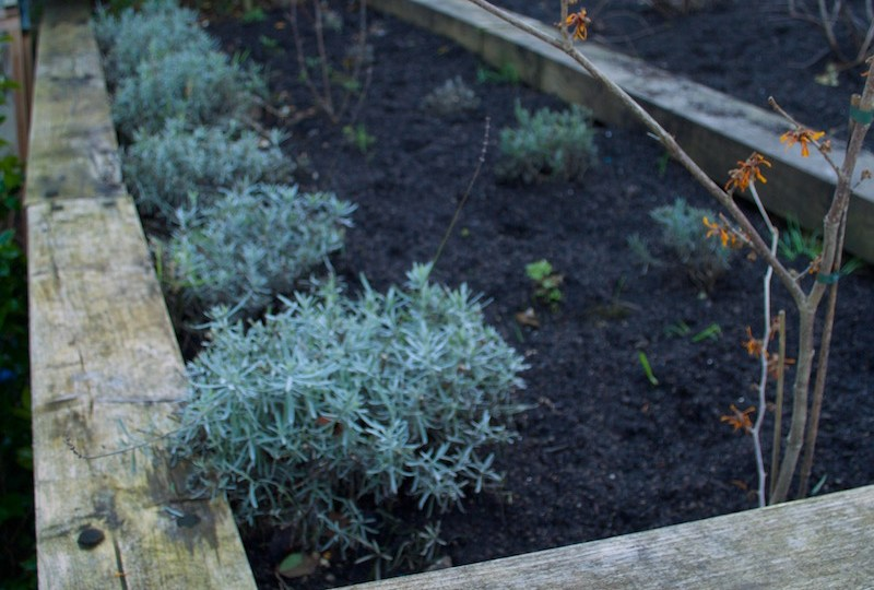 field compost lavender bed